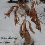 Marcescent Oak