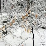 Marcescent Beech Tree