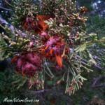 Cedar Apple Fungus