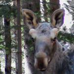 Moose with spring fur