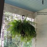 House Finch nest in fern